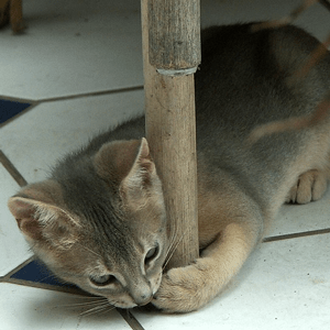 A kitten attacks the leg of a chair, wrapping its paws around it and biting.