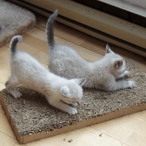 Two kittens scratch on a horizontal cardboard scratcher.