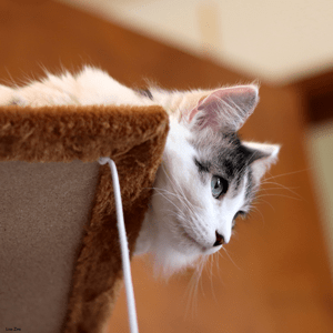 A kitten rests on top of a tall cat tree, peeking down from the edge.