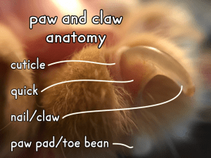 A cat's extended claw with anatomy labeled.